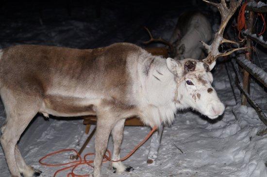 Snow Village:                   Reindeer Sledging
