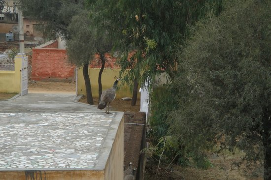 Vivaana:                   Peahen sighted from our room