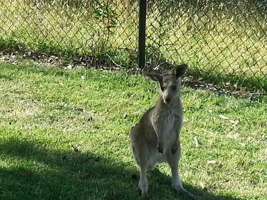 The Grampians Motel & The Views Restaurant:                                     Kangaroo at the door of our room