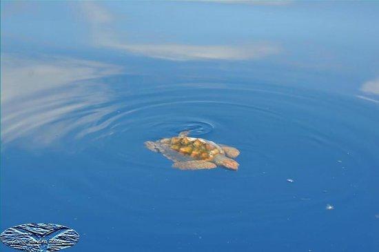 Futurismo Azores Adventures : Turtle - April 2012