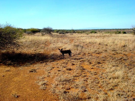 Laikipia Wilderness Camp :                   One of the wild dogs.