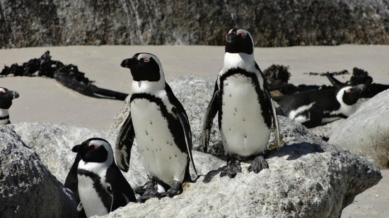 4 Cape Town Day Tours:                   African Penquins,Boulders Beach