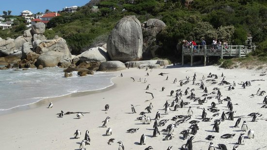 4 Cape Town Day Tours :                   Boulders Beach