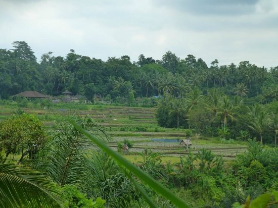 The Samaya Bali Ubud:                   Rice field views from Villa 105