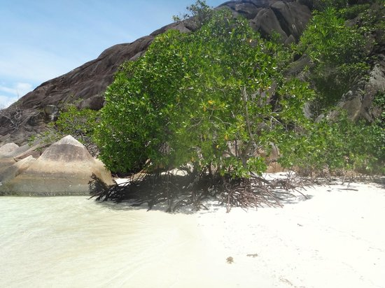 Hotel L'Archipel:                   Мангровое дерево в крошечной бухточке на пляже