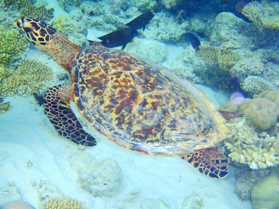 Fihalhohi Island Resort:                                     turtle from the reef