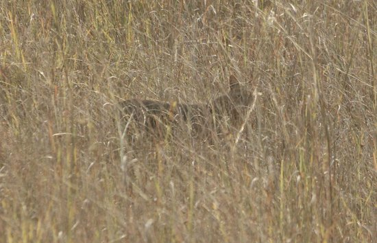 Kanha Jungle Lodge:                                     Jungle cat, after almost catching a chital fawn