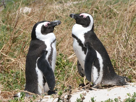 Daytrippers:                                     Penguins at Boulders Beach