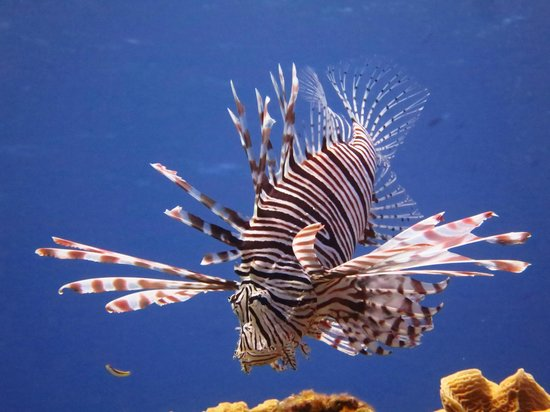 Little Cayman Beach Resort: A Lion fish on a coral head