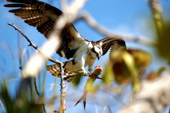 Bonita Springs, FL:                   An osprey on a tree near the nest.  Poor headless fish!