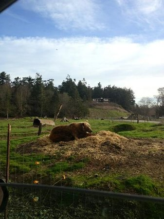 Olympic Game Farm:                   brown bear