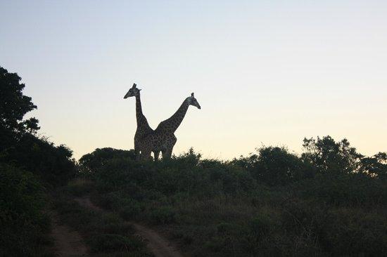 Hlosi Game Lodge:                   Giraffen in der Abendsonne
