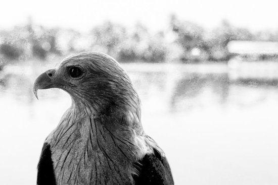 Coconut Lagoon:                   Local tame eagle