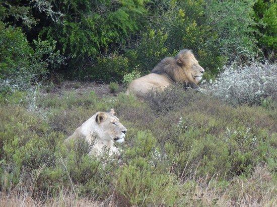 هيلز نيك سفاريز:                   @Safari                 