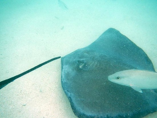 St. James's Club:                   sting ray