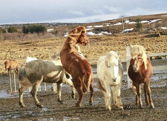 Laxnes Horse Farm:                   fun horses
