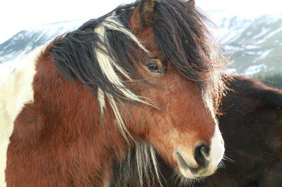 Laxnes Horse Farm:                   farm horses