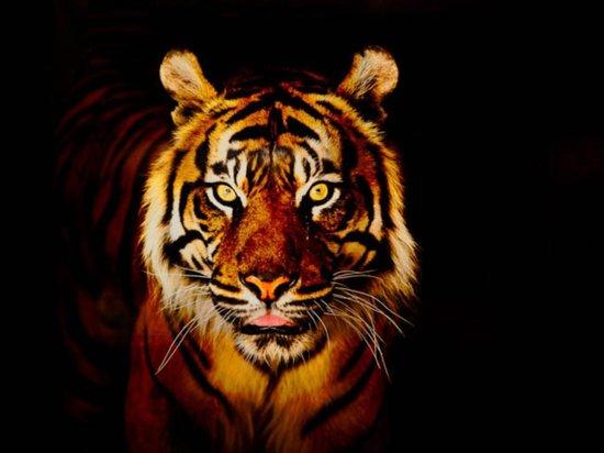 Zoologico de Cali:                   tigre de bengala