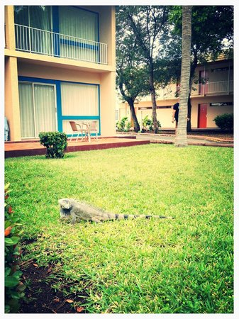 Sunscape Curacao Resort Spa & Casino:                   Iguana chilling at the resort