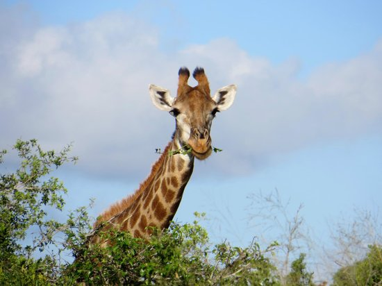 Rhino River Lodge:                                     Giraffe