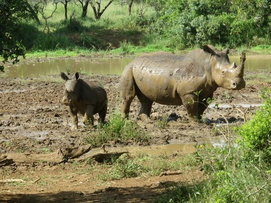 Rhino River Lodge:                                     Mum rhino and baby