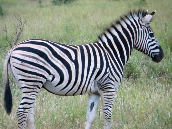 Rhino River Lodge:                                     Zebra