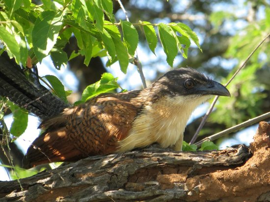 Rhino River Lodge:                                     Birchell's coucal