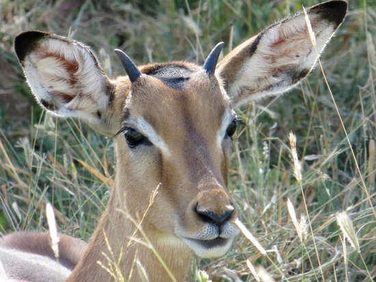 Rhino River Lodge:                                     Young impala
