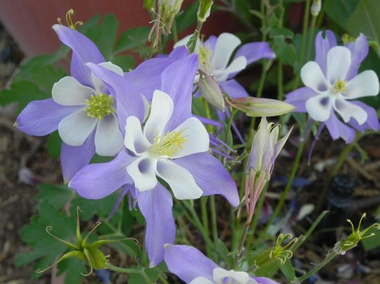 Chocolate Turtle Bed and Breakfast: Columbine in the Turtle's garden