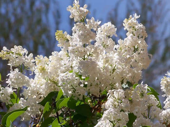 Chocolate Turtle Bed and Breakfast: Brilliant white lilacs greet guests as they enter the courtyard in the Spring