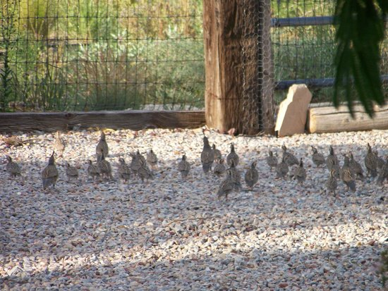 Chocolate Turtle Bed and Breakfast: Families of Gambril Quail scattered around the gardens