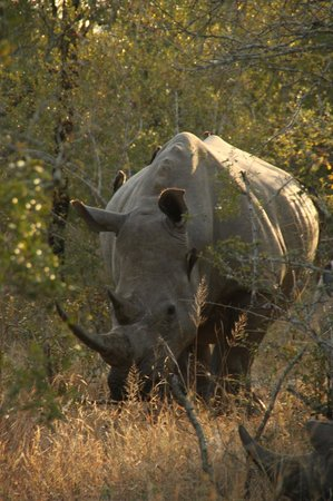 Simbambili Game Lodge :                   Rhinos!