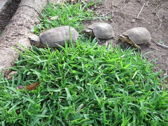Playa Azul Golf, Scuba, Spa:                   Friendly turtles in the front of the resort