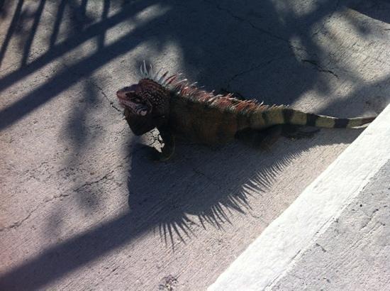 Frenchman's Reef & Morning Star Marriott Beach Resort: Hotel iguanas
