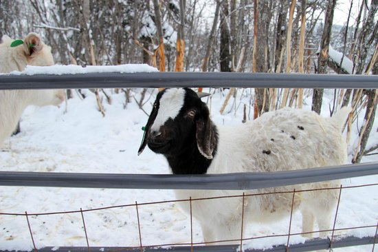 Chena Hot Springs Resort:                   happy goat
