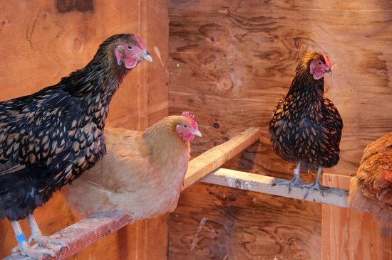 Chena Hot Springs Resort:                   heated chicken coop