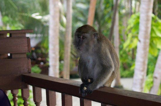Sipadan Mabul Resort:                   Шинли - любопытная обезьянка, живущая на острове