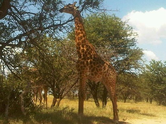 Monate Game Lodge:                   8 metres from giraffe