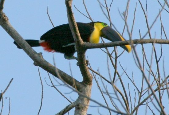 Falls Resort at Manuel Antonio:                   Toucan - just outside hotel grounds