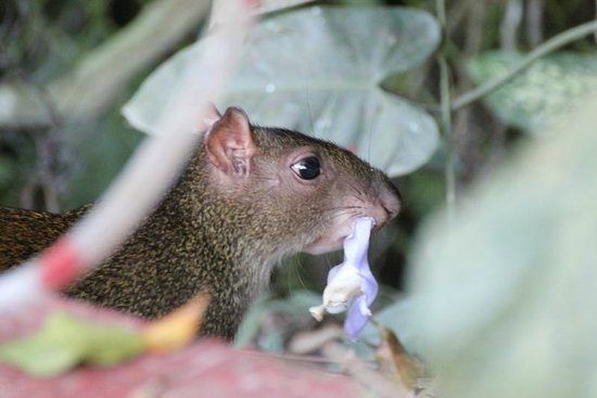 Falls Resort at Manuel Antonio:                   Agouti - Garden