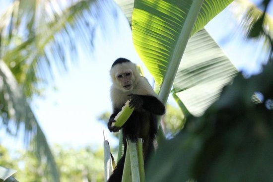 Falls Resort at Manuel Antonio:                   Capuchin