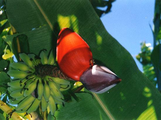 Swellendam Country Lodge : banana trees
