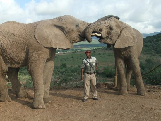 Buffelsdrift Game Lodge:                                     Elephant hugs and kisses
