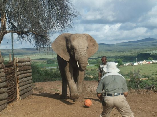 Buffelsdrift Game Lodge:                                     Playing with a ball
