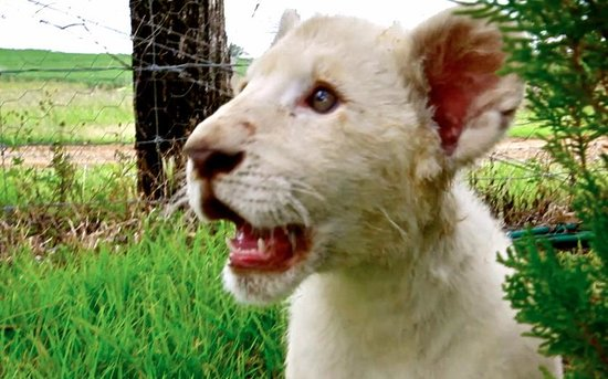 Gatton, Australia: White Lion Cub at Darling Downs Zoo