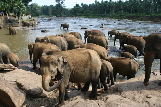 Pinnawala Elephant Orphanage:                                     bathing in the river