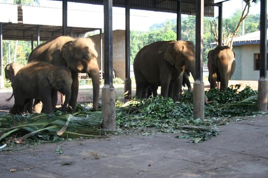 Pinnawala Elephant Orphanage:                                     at home