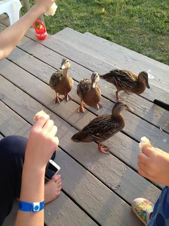 Fern Resort:                   ducks would visit our deck every day! Kids loved it!
