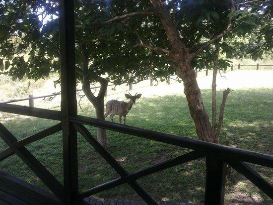 Gooderson Bushlands Game Lodge:                                     Eines der Haustiere