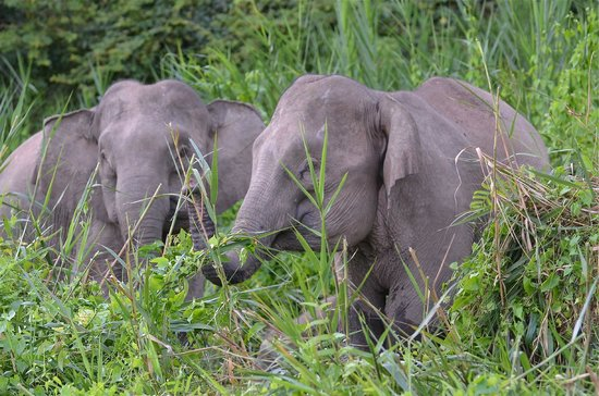 Abai Jungle Lodge:                   Pigmy Elephants up river from Abai- late afternoon